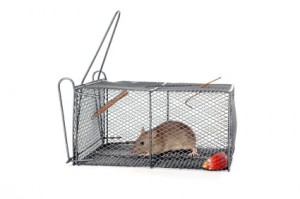 a rat in a metal trap